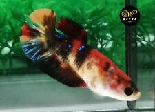 LIVE BETTA FISH FEMALE ORANGE BLACK KOI GALAXY FANCY HALFMOON PLAKAD HMPK (PKF48