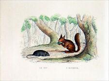 RONGEURS -  Le RAT, L'ÉCUREUIL, le MULOT & la SOURIS - Gravure couleur du 19e s