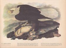 """1942 Vintage AUDUBON BIRDS #31 """"BALD EAGLE"""" Full Color Art Plate Lithograph WOW!"""