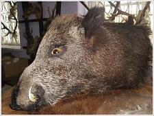 TAXIDERMY OF WILD BOAR HEAD COLLECTIBLE HUNTING Wildschwein Sanglier Cinghiale