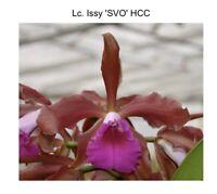 "Lc Issy 'SVO' HCC/AOS X Lc Summerland Girl 'Orchidglade' 4"" Pot (15) 6846"