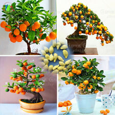 30pcs Bonsai Orange Seeds Fruit Flower Pot Big Delicious Exotic Home Citrus