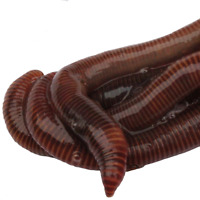 HomeGrownWorms.com - 250 Live Red Wigglers - Composting Worms - Live Delivery!!!