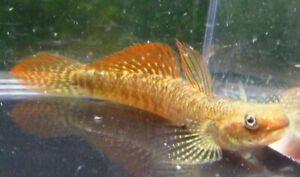 Rainbow Goby Live Freshwater Aquarium Fish