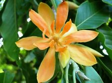 Magnolia champaca | Yellow Orchid Tree | 5_seeds