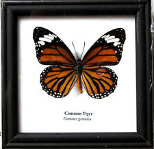 FRAMED REAL BEAUTIFUL COMMON TIGER BUTTERFLY DISPLAY INSECT TAXIDERMY
