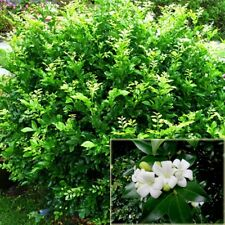 ORANGE JASMINE Murraya paniculata jessamine fragrant flower plant in 140mm pot