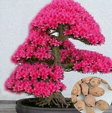 Five Seeds of Bonsai Tree Japanese Sakura Flowers Cherry Blossoms