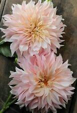 1 Dahlia Cafe Au Lait Creme pink Flower Bulb​/ Tuber Perennial Summer Blooming
