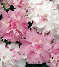 Flower - Petunia - Double Pirouette Orchid Mist - 30 Pelleted Seeds