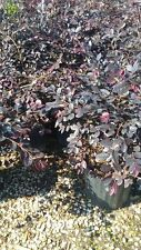 1 gal Chinese Fringe Loropetalum Flowering Shrub Live Home Garden Pink Flower