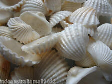 15 x Natural Sea Shell Beads Tribal Jewelery Craft White No Hole(PTS058Y)