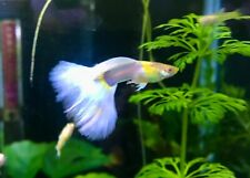 More details for guppy albino yellow tuxedo juvenile pair