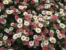 ERIGERON  KARVINSKINUS WHITE THEN PINK DAISY FLOWERS SUMMER.IN A 9CM. POT