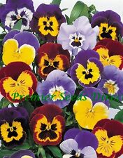 FLOWER PANSY (WINTER HARDY) JOLLY JOKER F2 MIXED 50 SEEDS