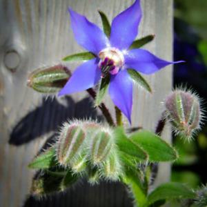 Borago officinalis (Borage) 25 Seeds - Garden Annual | Spring Summer Flowers UK