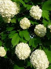 VIBURNUM OPULUS ROSEUM Snowball Bush Tree White Flowering Shrub 2-3ft Potted