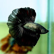 Live Betta Fish Fancy Black Copper Dragon HM Premium Grade from Thailand