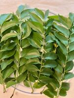 Curry Leaves Fresh On Stem - Curry Pata Organic - Freshly Picked 70 Leaves