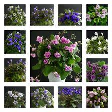 10 Blätter meiner Wahl/10 leaves of my choice Usambaraveilchen African Violet