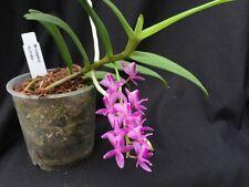Micropera rostrata Orchidee Naturform Species blühstark