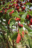 der Maulbeerbaum mit super leckeren schwarzen Früchten; zum sofort Essen !