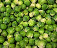 BRUSSEL SPROUTS LONG ISLAND Brassica Oleracea - 1,000 Bulk Seeds