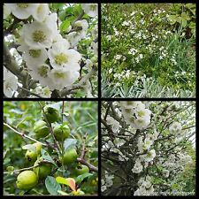 7 Chinese Flowering Quince Plants White Deciduous Chaenomeles speciosa nivalis