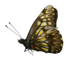 Unmounted Butterfly/Pieridae - Catasticta nimbice ssp., male, Mexico