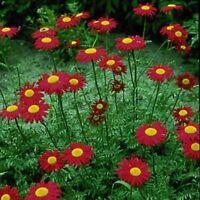 Chrysanthemum- Robinson Red- 200 Seeds- BOGO 50% off SALE