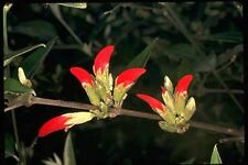 Swan River Pea (Gastrolobium celsianum syn Brachysema celsianum) - Seeds