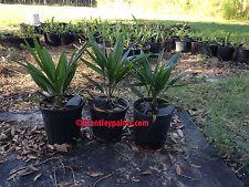 Trachycarpus fortunei windmill/chusan palm cold hardy palm free shipping