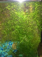 Healthy Guppy Grass (Najas guadalupensis) Live Aquarium Plant 1/2 Cup