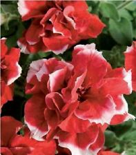 Flower - Petunia - Double Pirouette Red and White - 30 Pelleted Seeds
