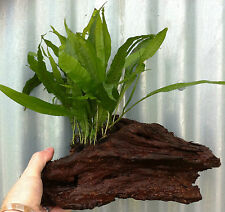 Java Fern Microsorum Pteropus on  Bogwood Live Aquarium Plants Fish Tank UK