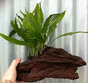 Java Fern Microsorum Pteropus on 6in Bogwood Live Aquarium Plants Fish Tank UK