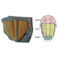 100% Natural Trilobite Tail Fossil Ancient fossils teaching specimens New