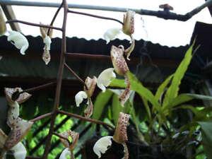 Orchid seed Gongora truncata