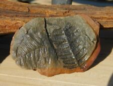 Natural Fern Fossil Half in Shale Stone Carboniferous Period from Missouri USA!