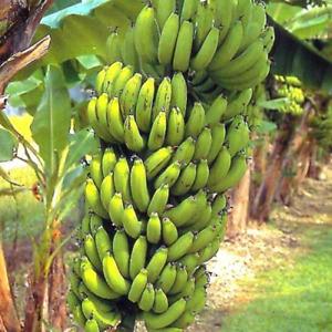 "Set of 4 ""Grand Nain"" Banana Plants Garden Patio Tropical Fruit Easy to Grow"