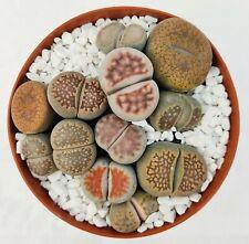 """/""""living stones della felicità/"""" Lithops B"""