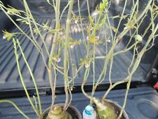 *UNCLE CHAN* 1 LIVE bulb Eulophia andamanensis Rchb.f. ว่านช้างผสมโคลง my garden