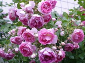 'Jasmina' -R- ADR-Rose Kletterrose in A-Qualität Wurzelware