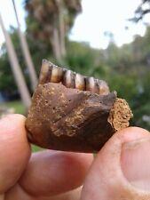 Beautiful Beaver Jaw With 3 Beautiful Teeth Florida Fossil Mammal Tooth