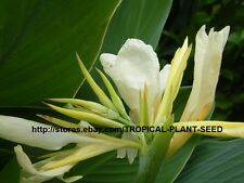10 white canna lily seeds, not plant, flower, pond