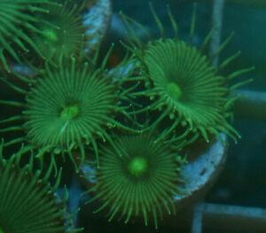 Green Implosion, 3 minimum heads Soft coral frag