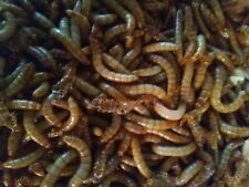 1000 - Live Mealworms Great for Reptiles , Birds , Fish, & More!