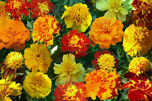 Tagetes - Bunte Prachtmischung