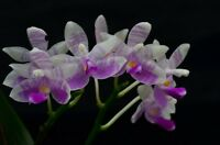 Rare orchid species seedling - Phalaenopsis modesta