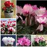 100 PCS Cyclamen Flower Seeds, 5 Colors, Perennial Plants Primrose Flowers Seeds